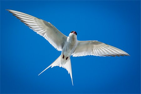 Close-up of Arctic tern, seabird at Jokulsarlon Lagoon, Jokulsarlon, Iceland Stock Photo - Rights-Managed, Code: 700-07760058