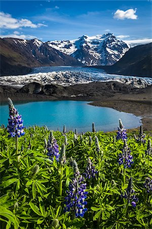 Spring flowers at scenic view of glacier and mountains, Svinafellsjokull, Skaftafell National Park, Iceland Stock Photo - Rights-Managed, Code: 700-07760104