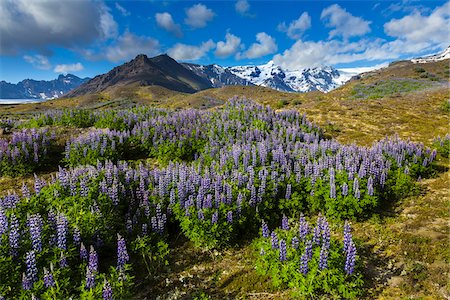 spring background - Scenic view of spring flowers with mountain in background, Svinafellsjokull, Skaftafell National Park, Iceland Stock Photo - Rights-Managed, Code: 700-07760109