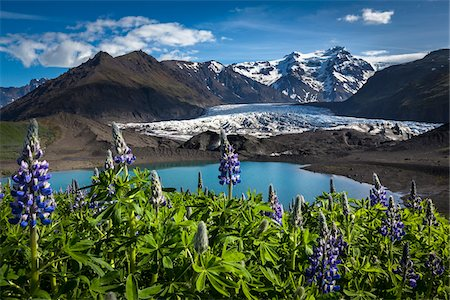 flowers - Scenic view of glacier and mountains with spring flowers, Svinafellsjokull, Skaftafell National Park, Iceland Stock Photo - Rights-Managed, Code: 700-07760101