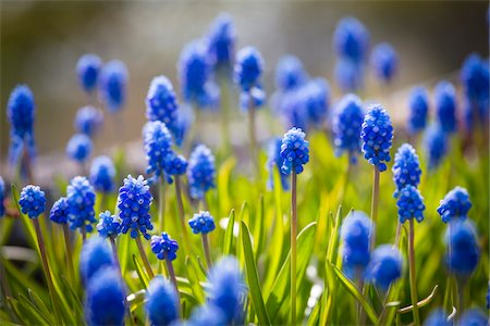 Muscari Dark Eyes Flowers, Arctic-Alpine Botanic Garden, Tromso, Norway Stock Photo - Rights-Managed, Code: 700-07784154