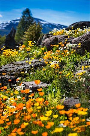 spring flowers - Arctic-Alpine Botanic Garden, Tromso, Norway Stock Photo - Rights-Managed, Code: 700-07784151
