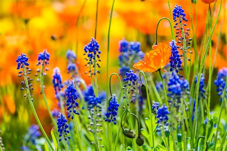 spring flowers - Grape Hyacinth (Muscari), Arctic-Alpine Botanic Garden, Tromso, Norway Stock Photo - Rights-Managed, Code: 700-07784153