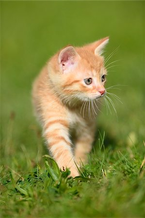 Close-up of a domestic cat (Felis silvestris catus) kitten on a meadow in summer, Upper Palatinate, Bavaria, Germany Stock Photo - Rights-Managed, Code: 700-07783765