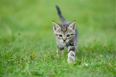 Close-up of a domestic cat (Felis silvestris catus) kitten on a meadow in summer, Upper Palatinate, Bavaria, Germany Stock Photo - Rights-Managed, Code: 700-07783766