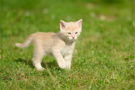 Close-up of a domestic cat (Felis silvestris catus) kitten on a meadow in summer, Upper Palatinate, Bavaria, Germany Stock Photo - Rights-Managed, Code: 700-07783769