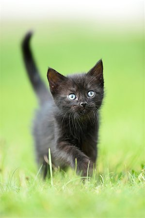 Close-up of a domestic black cat (Felis silvestris catus) kitten on a meadow in summer, Upper Palatinate, Bavaria, Germany Stock Photo - Rights-Managed, Code: 700-07783761