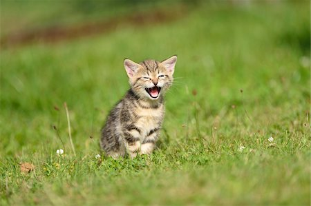 Close-up of Domestic Cat (Felis silvestris catus) Kitten on Meadow in Summer, Bavaria, Germany Stock Photo - Rights-Managed, Code: 700-07783966