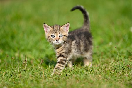 pictures cats - Close-up of Domestic Cat (Felis silvestris catus) Kitten on Meadow in Summer, Bavaria, Germany Stock Photo - Rights-Managed, Code: 700-07783968