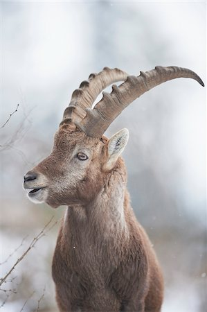 Close-up portrait of an Alpine ibex (Capra ibex) in the Alps of Austria in winter, Styria, Austria Stock Photo - Rights-Managed, Code: 700-08006998