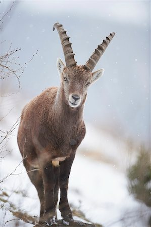 perception - Close-up of an Alpine ibex (Capra ibex) in the Alps of Austria in winter, Styria, Austria Stock Photo - Rights-Managed, Code: 700-08006999