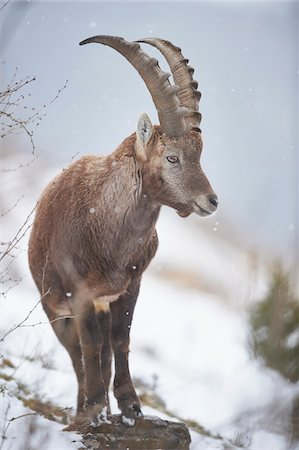 perception - Close-up of an Alpine ibex (Capra ibex) in the Alps of Austria in winter, Styria, Austria Stock Photo - Rights-Managed, Code: 700-08007000