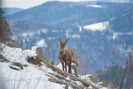 perception - Alpine ibex (Capra ibex) in the Alps of Austria in winter, Styria, Austria Stock Photo - Rights-Managed, Code: 700-08007002