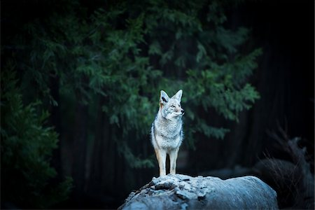 perception - Wild Coyote, Yosemite National Park, California, USA. Stock Photo - Rights-Managed, Code: 700-08002174