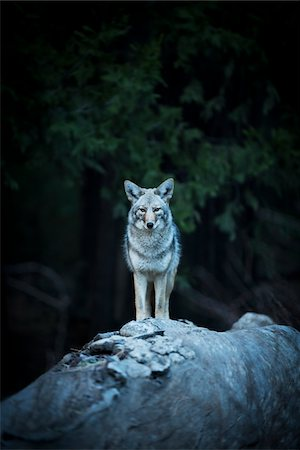 perception - Wild Coyote, Yosemite National Park, California, USA. Stock Photo - Rights-Managed, Code: 700-08002175