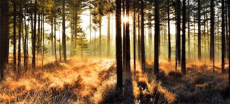Pine forest at sunrise, Wareham Forest, Dorset, England Stock Photo - Rights-Managed, Code: 700-08002178