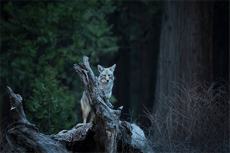 perception - Wild Coyote, Yosemite National Park, California, USA. Stock Photo - Rights-Managed, Code: 700-08002173