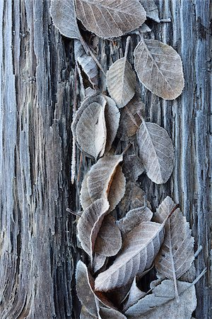 Close-up of fosted leaves on a tree trunk in winter, Wareham forest, Dorest, England Stock Photo - Rights-Managed, Code: 700-08002180