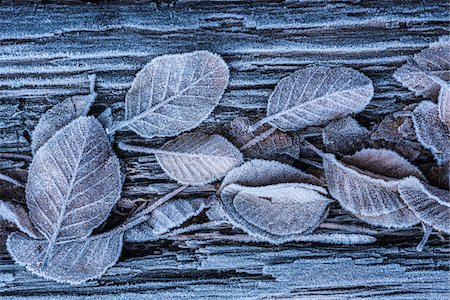 Close-up of frosted leaves in winter, Wareham Forest, Dorset, England Stock Photo - Rights-Managed, Code: 700-08002181
