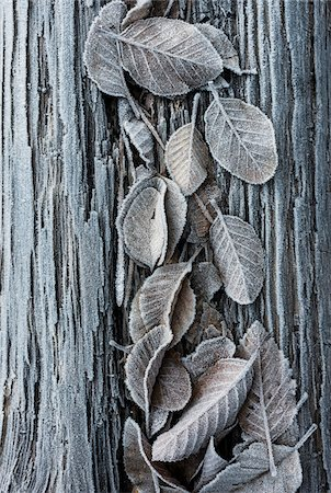 Close-up of frosted leaves on a tree trunk in winter, Wareham Forest, Dorset, England. Stock Photo - Rights-Managed, Code: 700-08002183