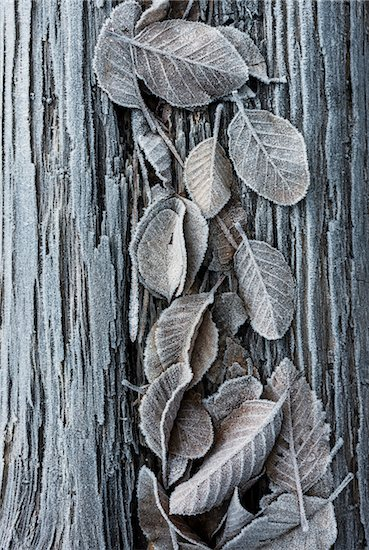 Close-up of frosted leaves on a tree trunk in winter, Wareham Forest, Dorset, England. Stock Photo - Premium Rights-Managed, Artist: JW, Image code: 700-08002183