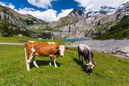 Cows on Alpine Pasture at Lake Oeschinensee, view to Bluemlisalp, Bernese Oberland, Canton of Bern, Switzerland Stock Photo - Rights-Managed, Code: 700-08059744