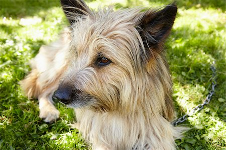 restrained - Close-up portrait of Carin terrier dog lying in grass in the backyard in summer, Abruzzo, Italy Stock Photo - Rights-Managed, Code: 700-08102719