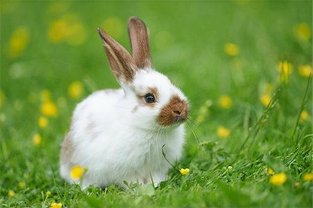 Domestic Rabbit Sitting in Meadow in Spring, Upper Palatinate, Bavaria, Germany Stock Photo - Rights-Managed, Code: 700-08102942