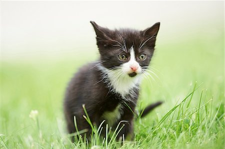 Close-up of Six Week Old Domestic Kitten (Felis silvestris catus) on Meadow in Early Summer, Upper Palatinate, Bavaria, Germany Stock Photo - Rights-Managed, Code: 700-08116822