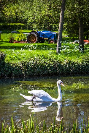 Swan on River Eye, Lower Slaughter, Gloucestershire, The Cotswolds, England, United Kingdom Stock Photo - Rights-Managed, Code: 700-08122124