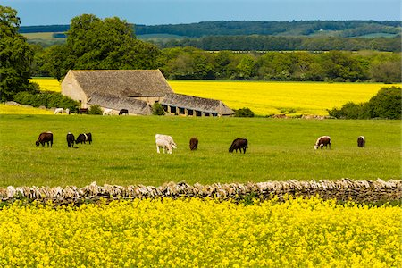 Canola fields and cows grazing, Gloucestershire, The Cotswolds, England, United Kingdom Stock Photo - Rights-Managed, Code: 700-08122138