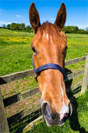 front - Close-up portrait of horse looking at camera, Bourton-on-the-Water, Gloucestershire, The Cotswolds, England, United Kingdom Stock Photo - Rights-Managed, Code: 700-08122172