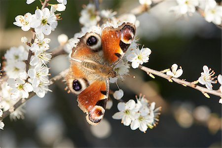 Close-up of a European Peacock butterfly (Aglais io) on a Blackthorn flower (Prunus spinosa) in spring, Upper Palatinate, Bavaria, Germany Stock Photo - Rights-Managed, Code: 700-08122188