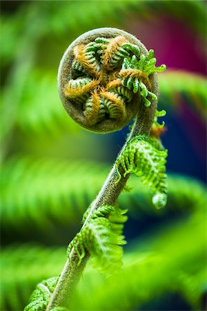 Close-up of Fern, Trebah Gardens, Cornwall, England, United Kingdom Stock Photo - Rights-Managed, Code: 700-08122254