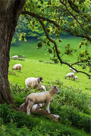 photography - Sheep on Pasture, Chipping Campden, Gloucestershire, Cotswolds, England, United Kingdom Stock Photo - Rights-Managed, Code: 700-08145792