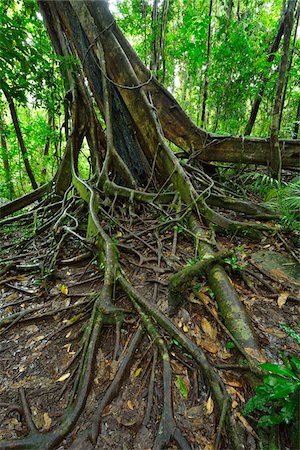 White Fig (Ficus virens) Tree Trunk and Roots, Daintree Rainforest, Daintree National Park, Queensland, Australia Stock Photo - Rights-Managed, Code: 700-08146048