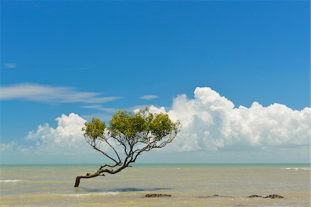queensland - Mangrove Tree in Sea, Clairview, Isaac Region, Queensland, Australia Stock Photo - Rights-Managed, Code: 700-08146062