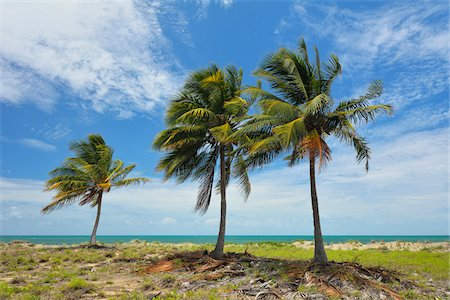 queensland - Coconut Palms on Coast in Summer, Queens Beach, Bowen, Queensland, Australia Stock Photo - Rights-Managed, Code: 700-08146082