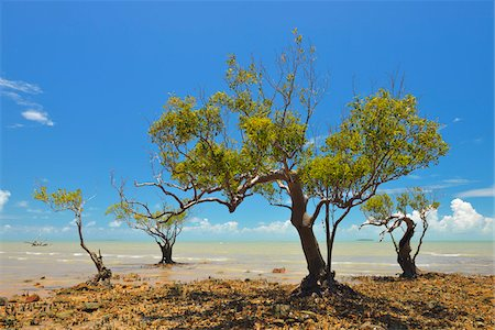 scenic view - Mangrove Trees on Stone Coast, Clairview, Queensland, Australia Stock Photo - Rights-Managed, Code: 700-08146220