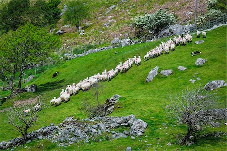 domestic sheep - Sheep being rounded up by sheep dogs near Moll's Gap, along the Ring of Kerry, County Kerry, Ireland Stock Photo - Rights-Managed, Code: 700-08146371