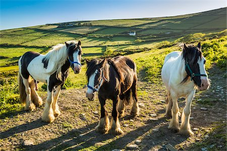 Horses at St Finian's Bay, along the Skellig Coast on the Ring of Kerry, County Kerry, Ireland Stock Photo - Rights-Managed, Code: 700-08146393
