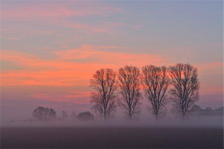 purple - Cottonwood Tree Row at Sunrise, Harpertshausen, Dieburg, Darmstadt-Dieburg-District, Hesse, Germany Stock Photo - Rights-Managed, Code: 700-08146505