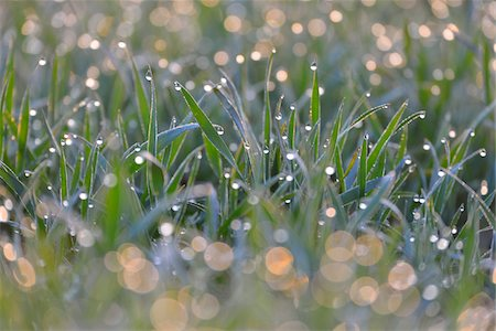 detail - Close-up of Leaves of Grain with Water Drops in the Morning, Bavaria, Germany Stock Photo - Rights-Managed, Code: 700-08146500