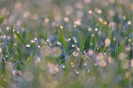 Close-up of Leaves of Grain with Water Drops in the Morning, Bavaria, Germany Stock Photo - Rights-Managed, Code: 700-08146503