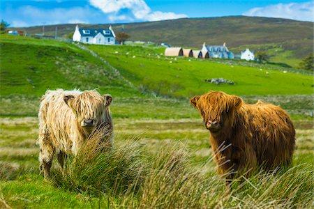 photography - Highland Cattle, Kilmaluag, Trotternish, Isle of Skye, Scotland, United Kingdom Stock Photo - Rights-Managed, Code: 700-08167279