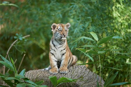 endangered animal - Portrait of Siberian Tiger (Panthera tigris altaica) Cub on Rock in Late Summer, Germany Stock Photo - Rights-Managed, Code: 700-08209754