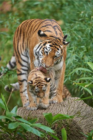Portrait of Siberian Tiger (Panthera tigris altaica) Mother with Cub in Late Summer, Germany Stock Photo - Rights-Managed, Code: 700-08209755