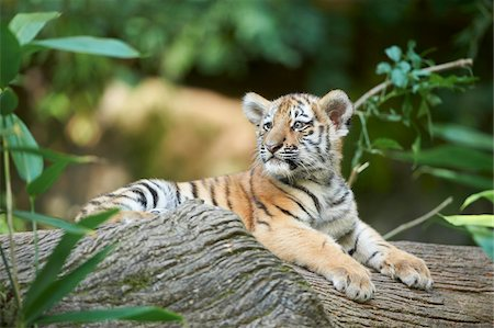 endangered animal - Portrait of Siberian Tiger Cub (Panthera tigris altaica) in Late Summer, Germany Stock Photo - Rights-Managed, Code: 700-08210082
