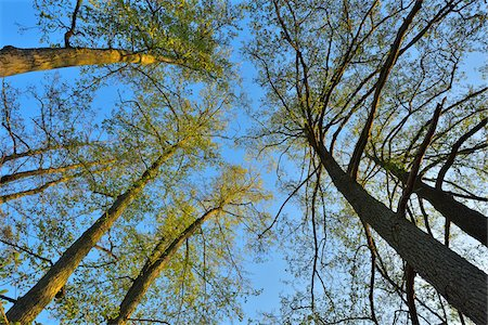 Looking up into the Treetops of Alder Trees, Woerth am Main, Churfranken, Franconia, Bavaria, Germany Stock Photo - Rights-Managed, Code: 700-08225291