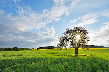 Blooming Apple Tree in Grain Field with Sun in Spring, Reichartshausen, Amorbach, Odenwald, Bavaria, Germany Stock Photo - Rights-Managed, Code: 700-08225301